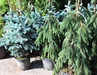 Скидка до 50% на растения из Бельгии с закрытой корневой системой от Зеленой площадки при центре Домовой!